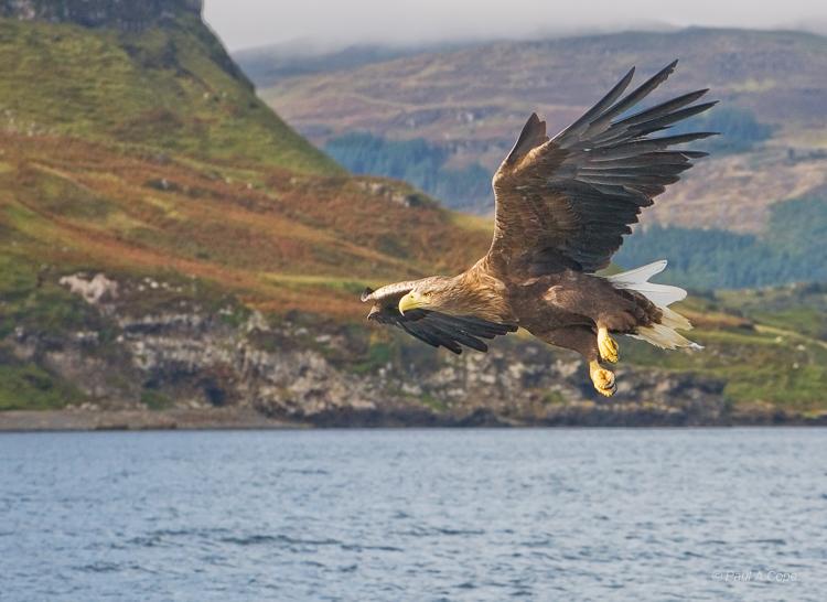 White Tipped Sea Eagle.jpg