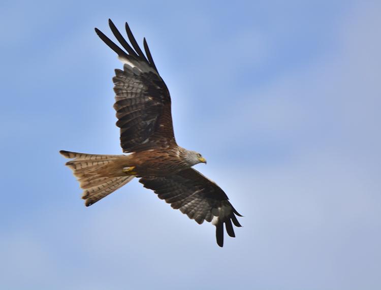 Red kite 2SM.jpg