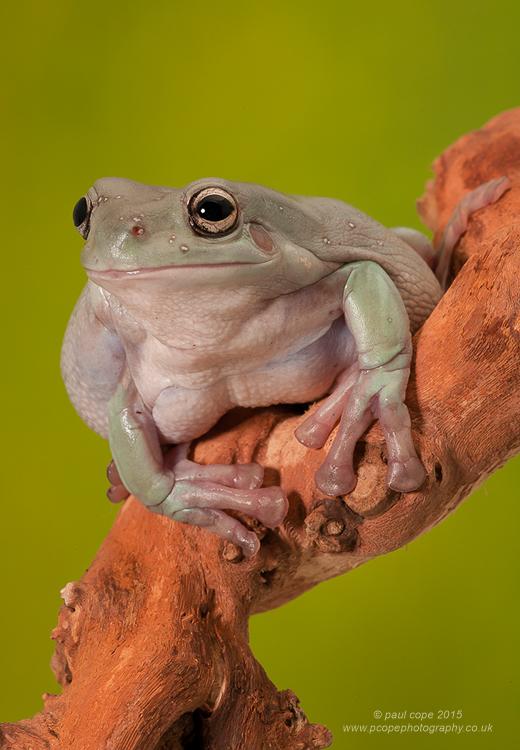 White's Tree Frog-.jpg