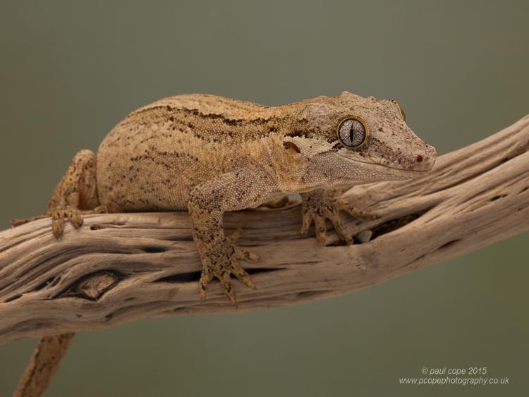 Gargoyle Gecko-7750.jpg