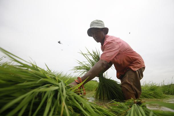 Rice Farming in Myanmar
