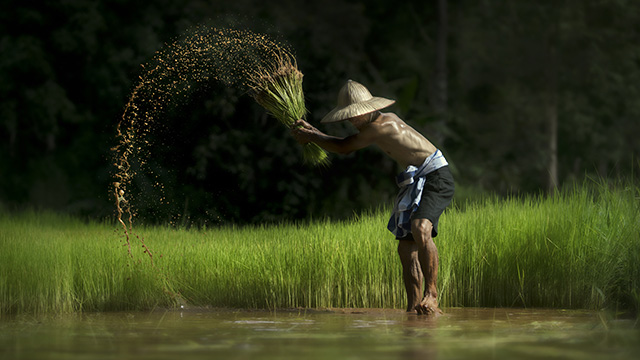 A Farmer harvest rice in Myanmar
