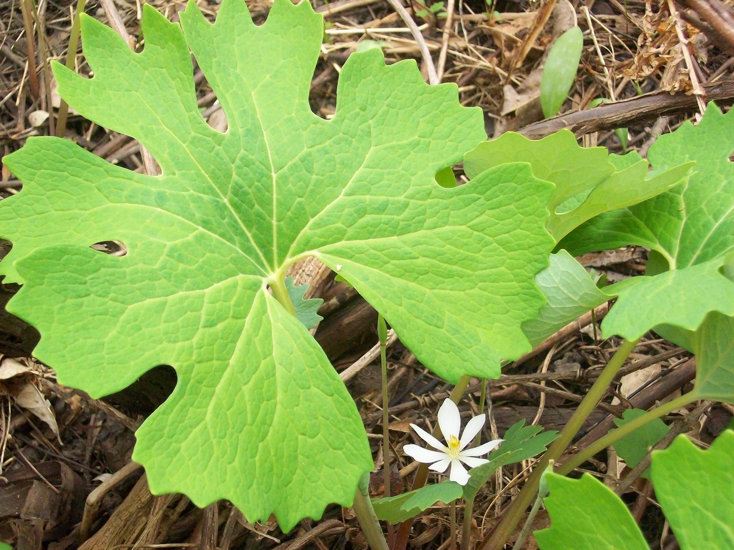 Project Photo-Bloodroot at Mill Seat Landfill Expansion.JPG