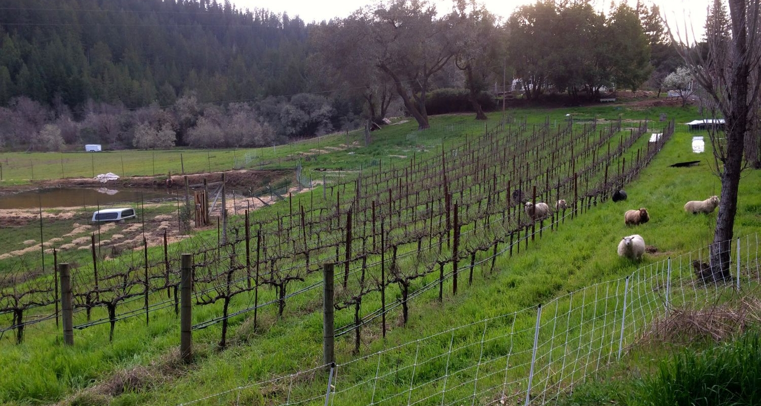 sheep in vines.jpg
