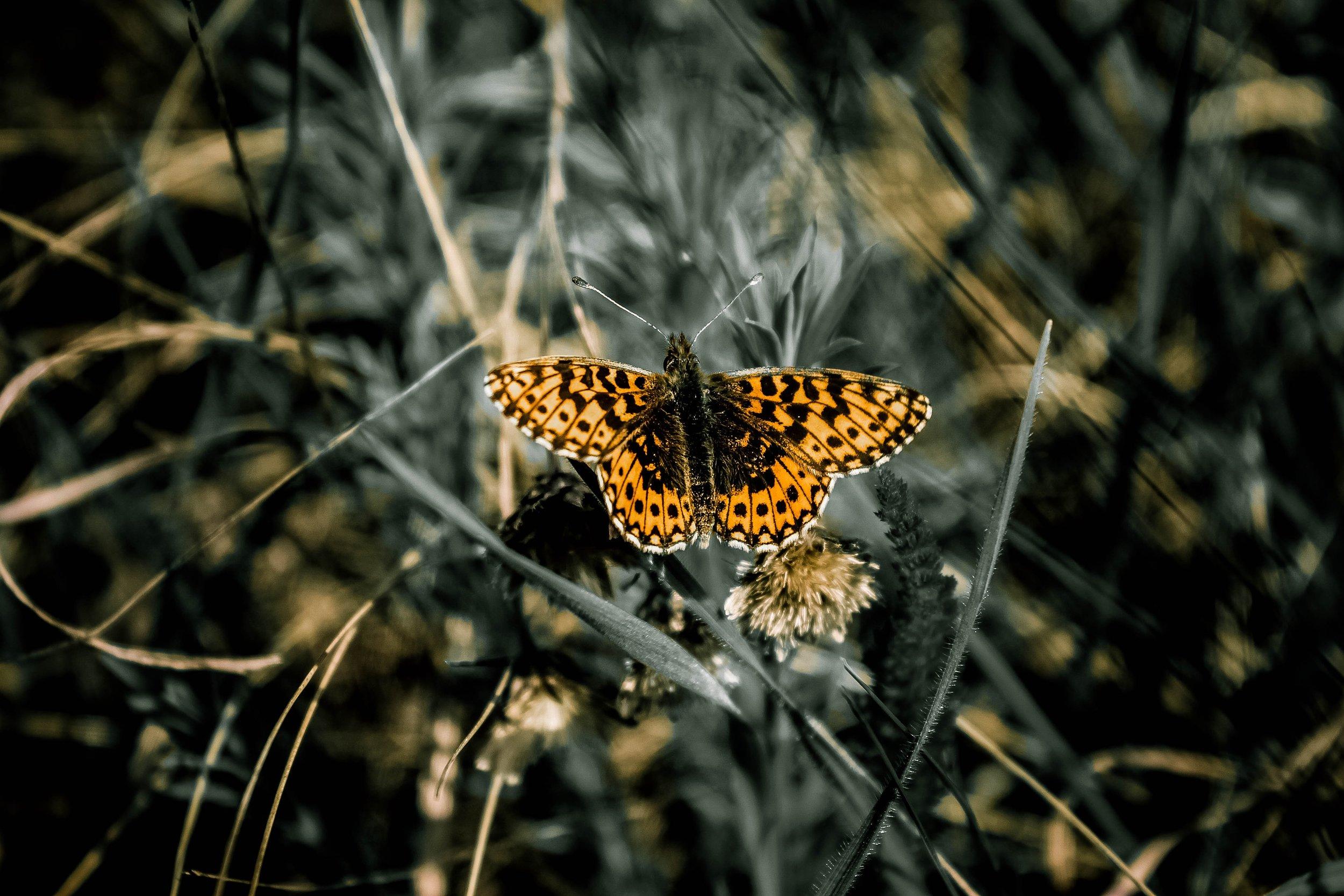 123 TAAL 1117 butterfly3.jpg