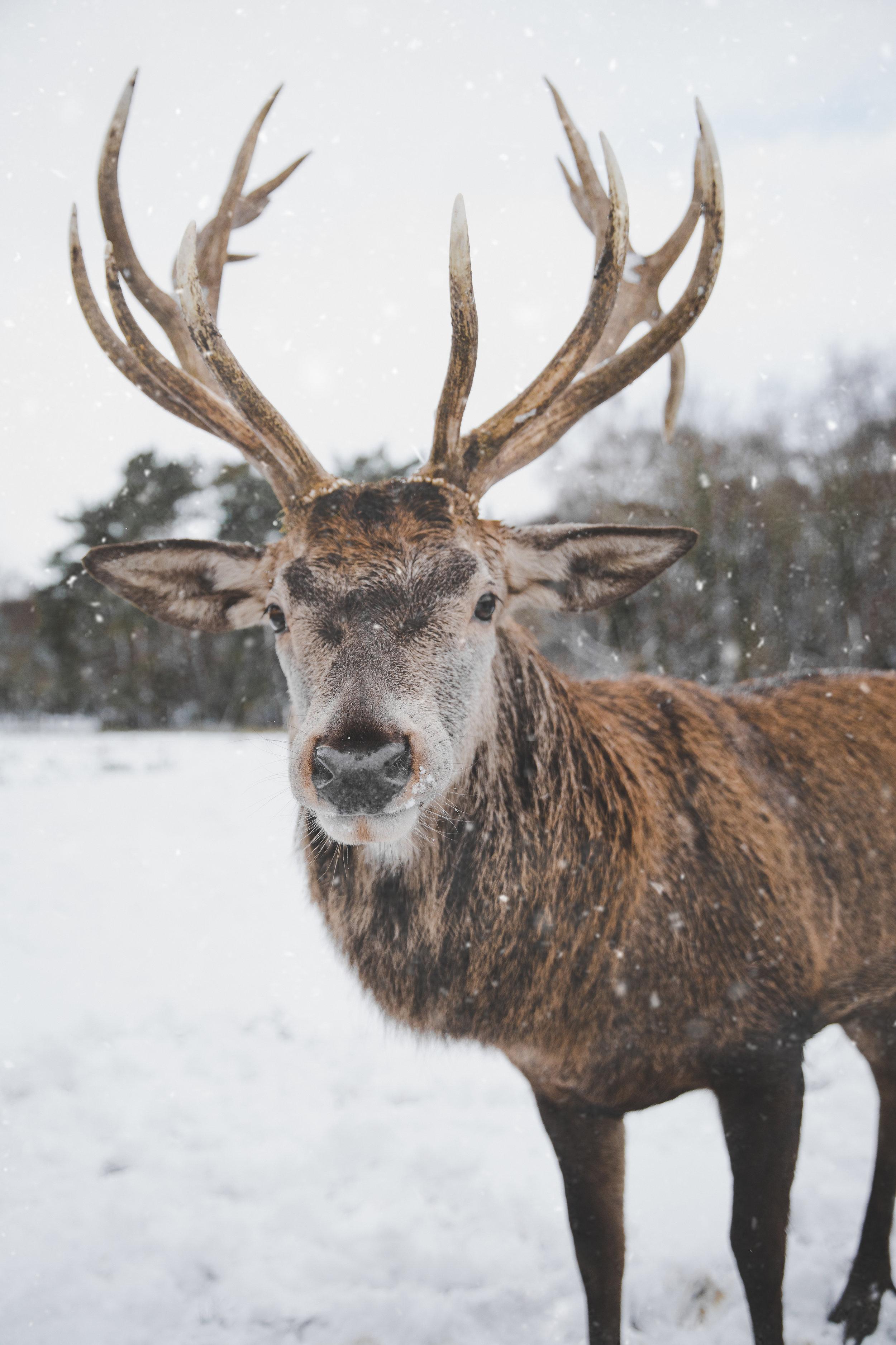 reindeer.jpeg