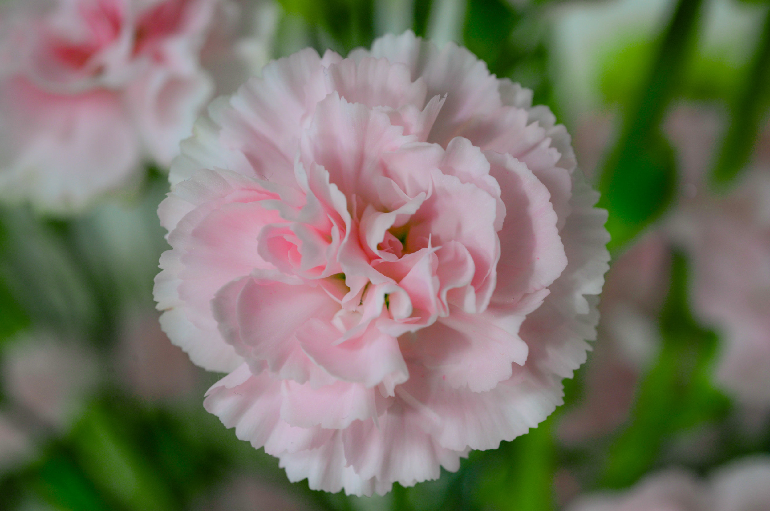 carnations.jpeg