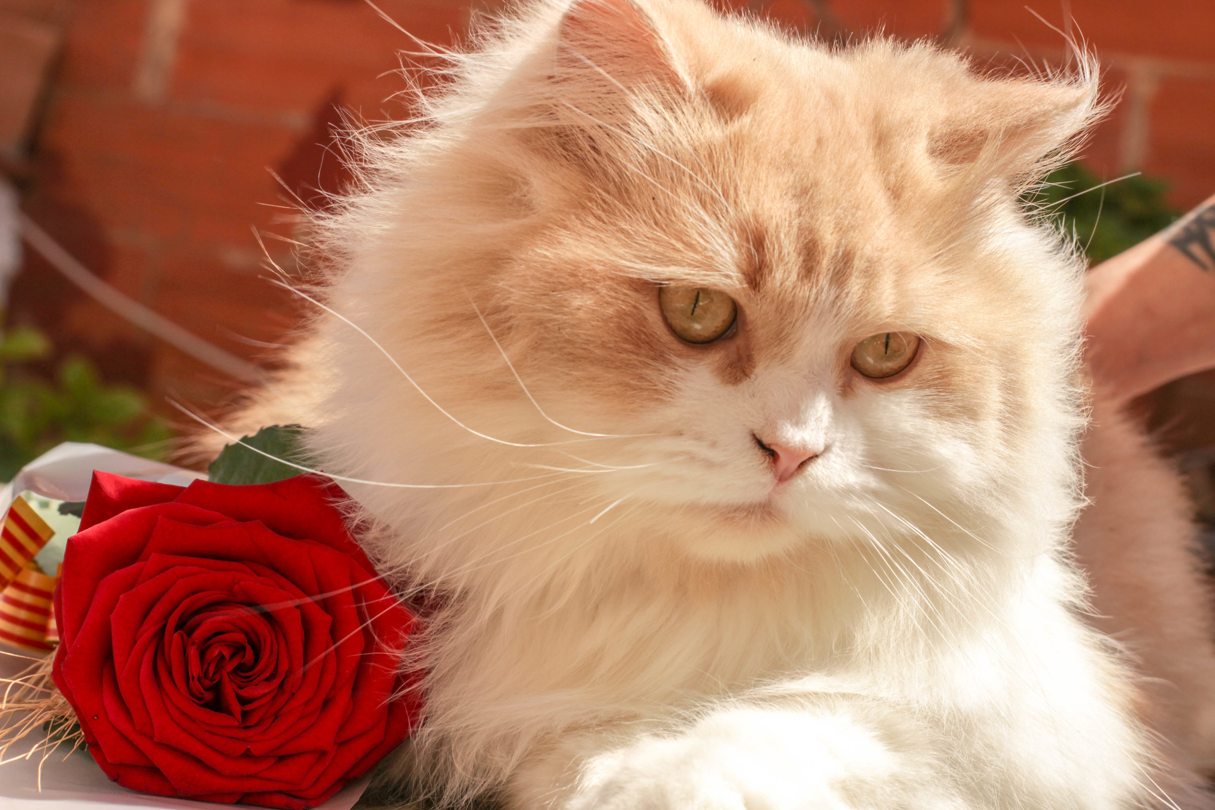 cat with rose.jpeg