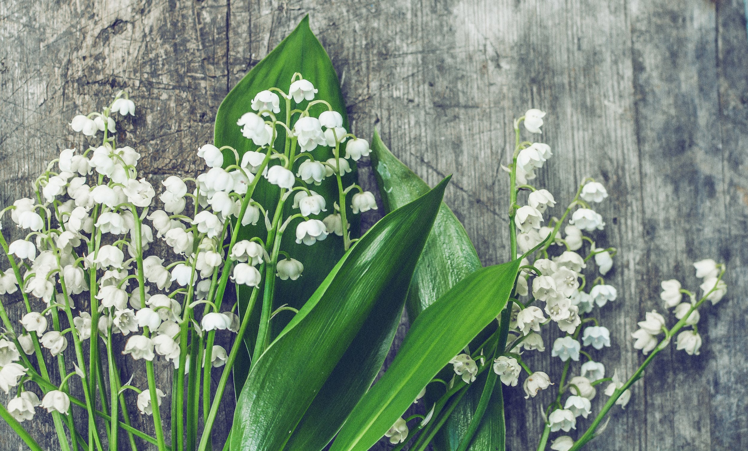 lily of the valley.jpeg