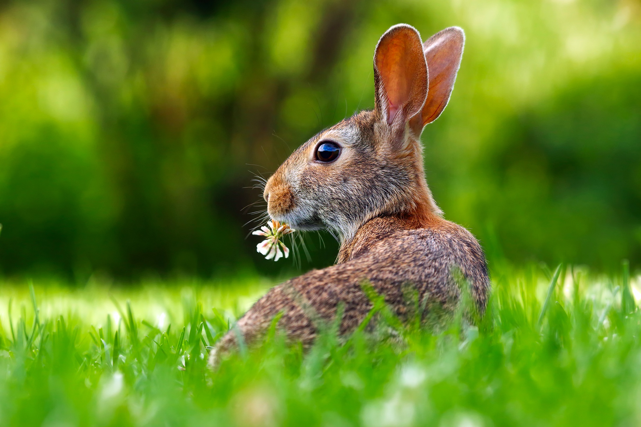 rabbit with clover.jpeg