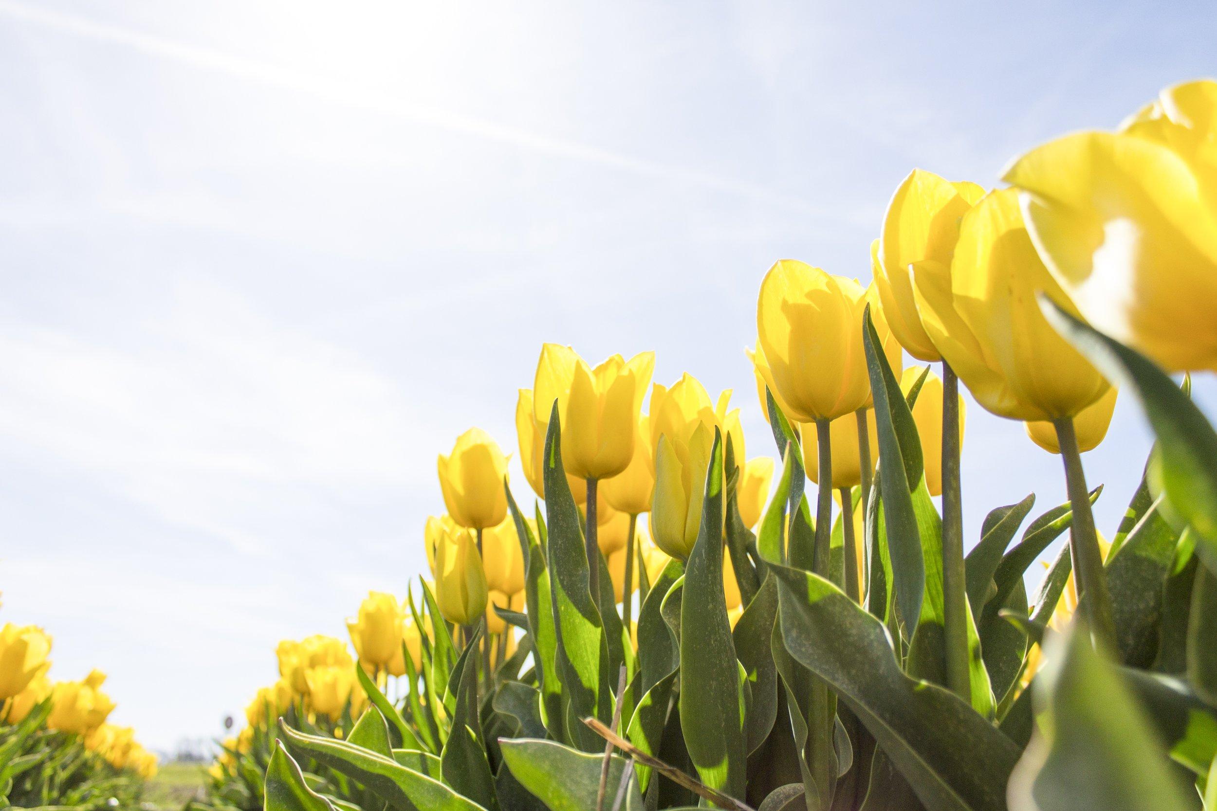 tulips-netherlands-flowers-bloom-159406.jpeg