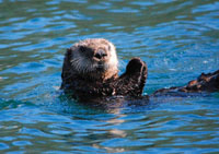 103 Sea Otter.JPG