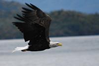 103 Bald Eagle.JPG
