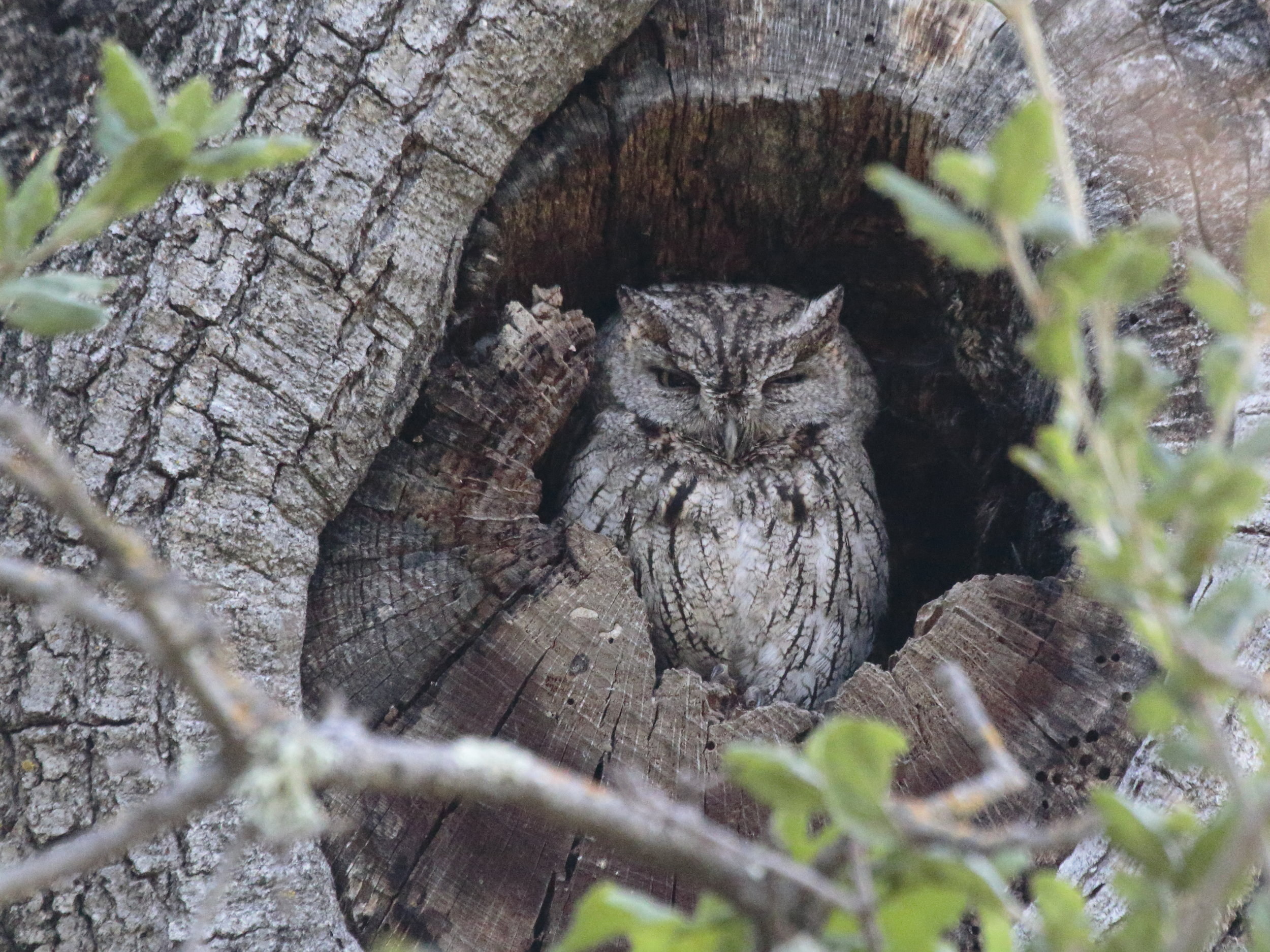 Leigh Creekside Park is habitat for Western Screech Owls, which often nest in tree cavities. (Photo: Beth Branthaver)