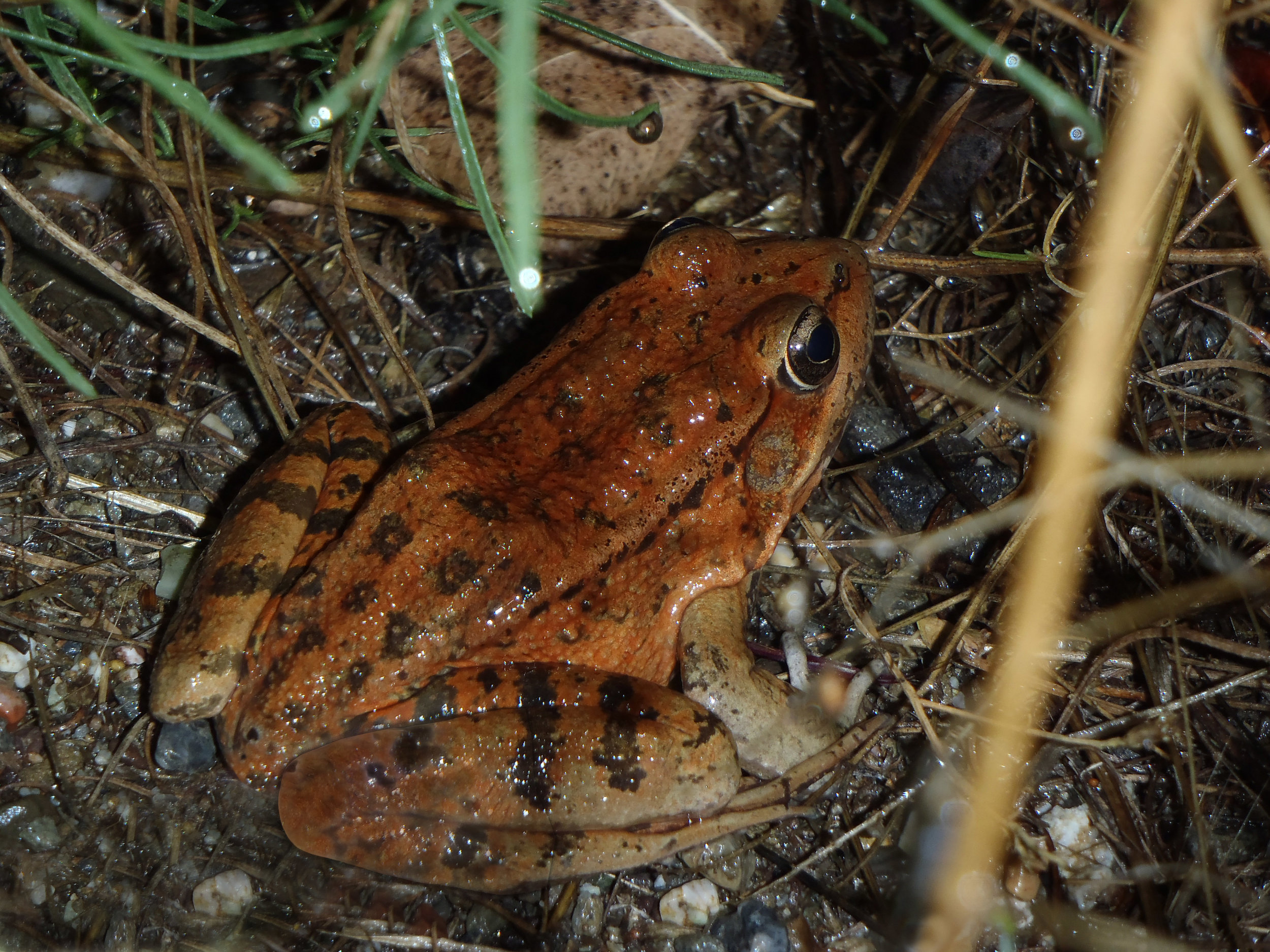 The California Red Legged Frog, a threatened species, has lived in Las Trampas Creek and its riparian zone. Las Trampas Creek flows through Leigh Creekside Park. (Photo by Jim 'Doc' Hale)