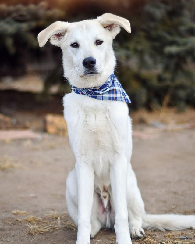 Wiley!!! How cute is this guy?! He is here for his two week board and train for his obedience, manners, and help with his anxiety. It also comes with play time and cuddles because how can you not want to cuddle this face ❤  #dogtraining #dogtrainer #coloradosprings #coloradospringsdogtrainer #coloradodogtraining #huskylabmix #rescuedog