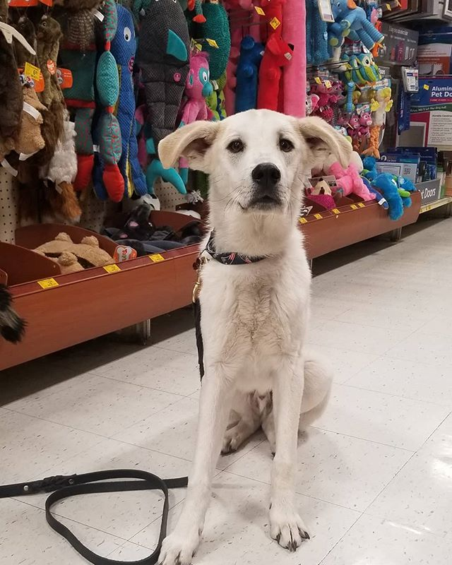 Wiley's day out! He showed off his awesome new obedience skills at Petsmart!  #dogtraining #petsmart #obedience #coloradodogtraining #rescuedog #huskymix