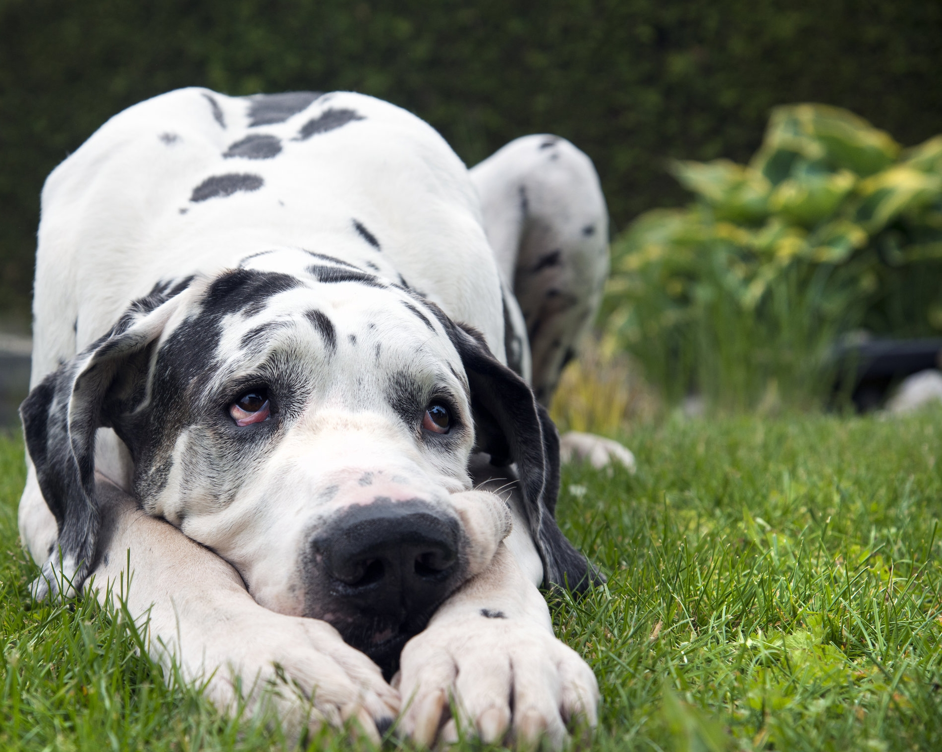 available great danes -
