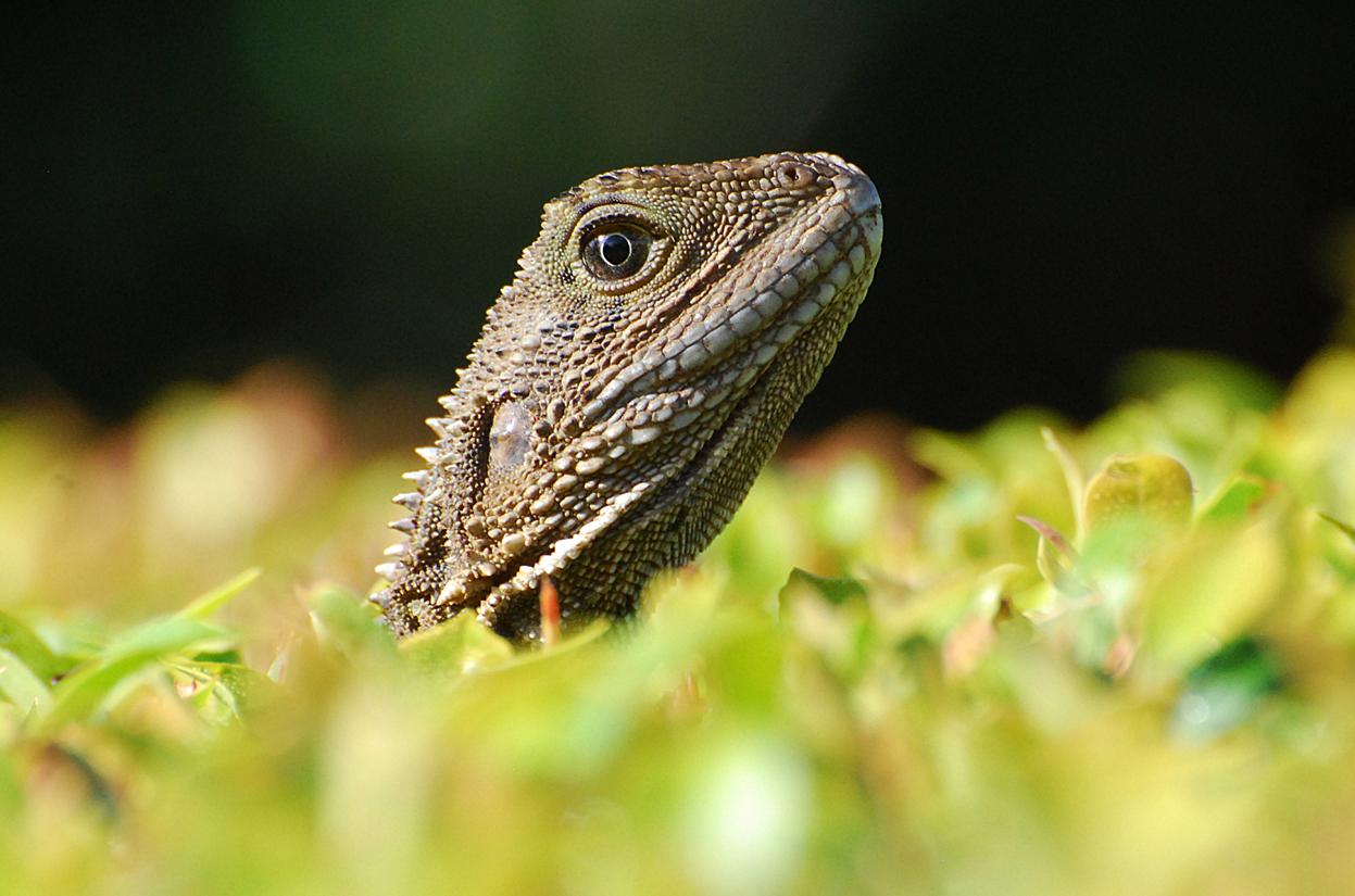 Lizard - Tree 2 Sml.jpg