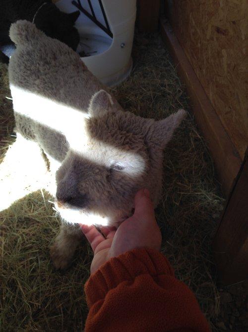 Rumenboard Farm | Babydoll Southdown Sheep | Dallas/Fort