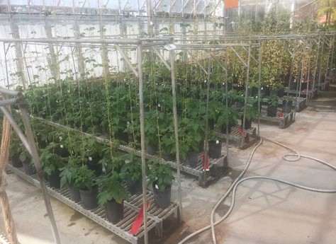 A greenhouse facility at the University of Tasmania Photo: Hongshan Shang