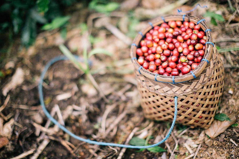 Coffee farms in Bali, Indonesia