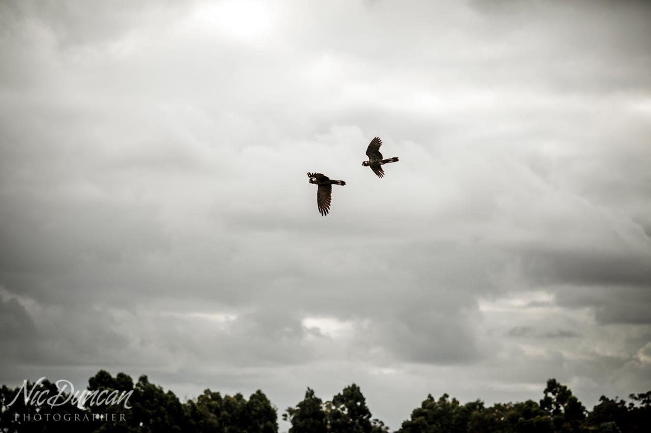 Black cockatoos in the sky