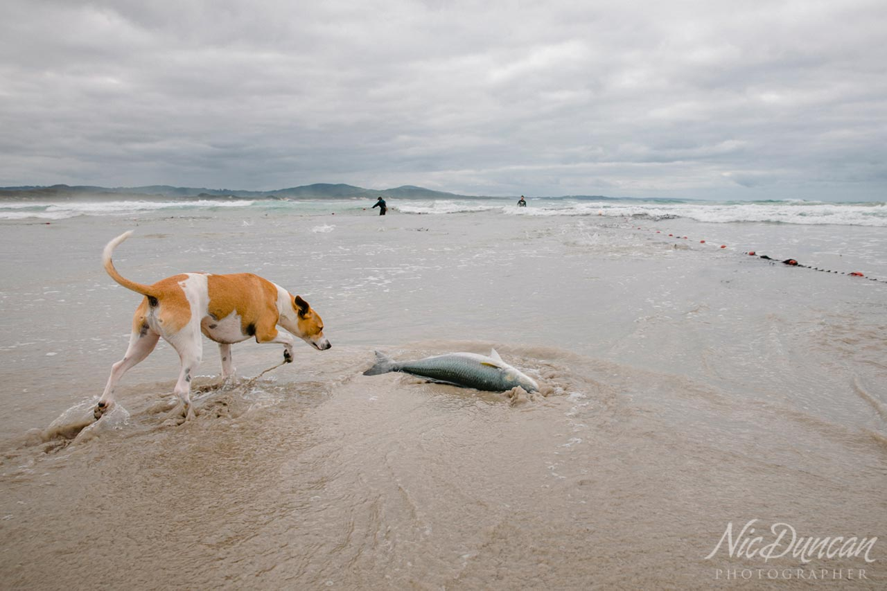 Dog investigating an Australian salmon washed up on shore