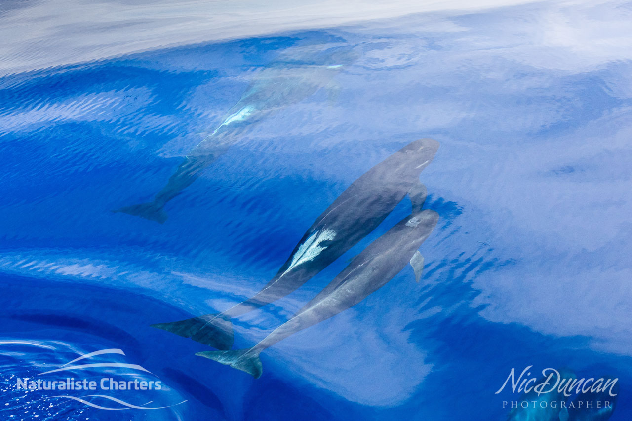 Long finned pilot whales beneath the surface of the Southern Ocean on an unusually calm day, Bremer Canyon WA