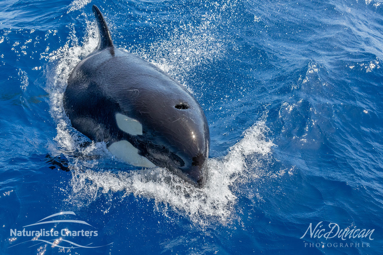 Killer whale powering through the Southern Ocean, WA