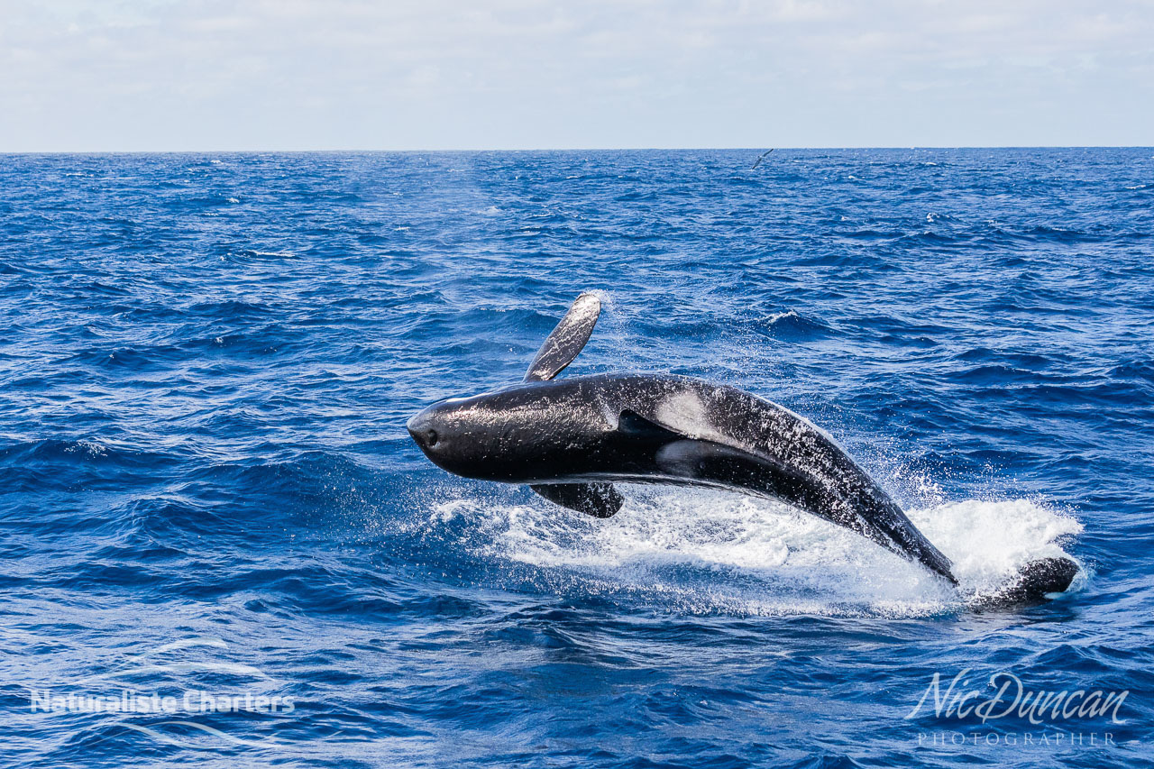 A killer whale (Mako) breaching in the Southern Ocean of the south coat of WA