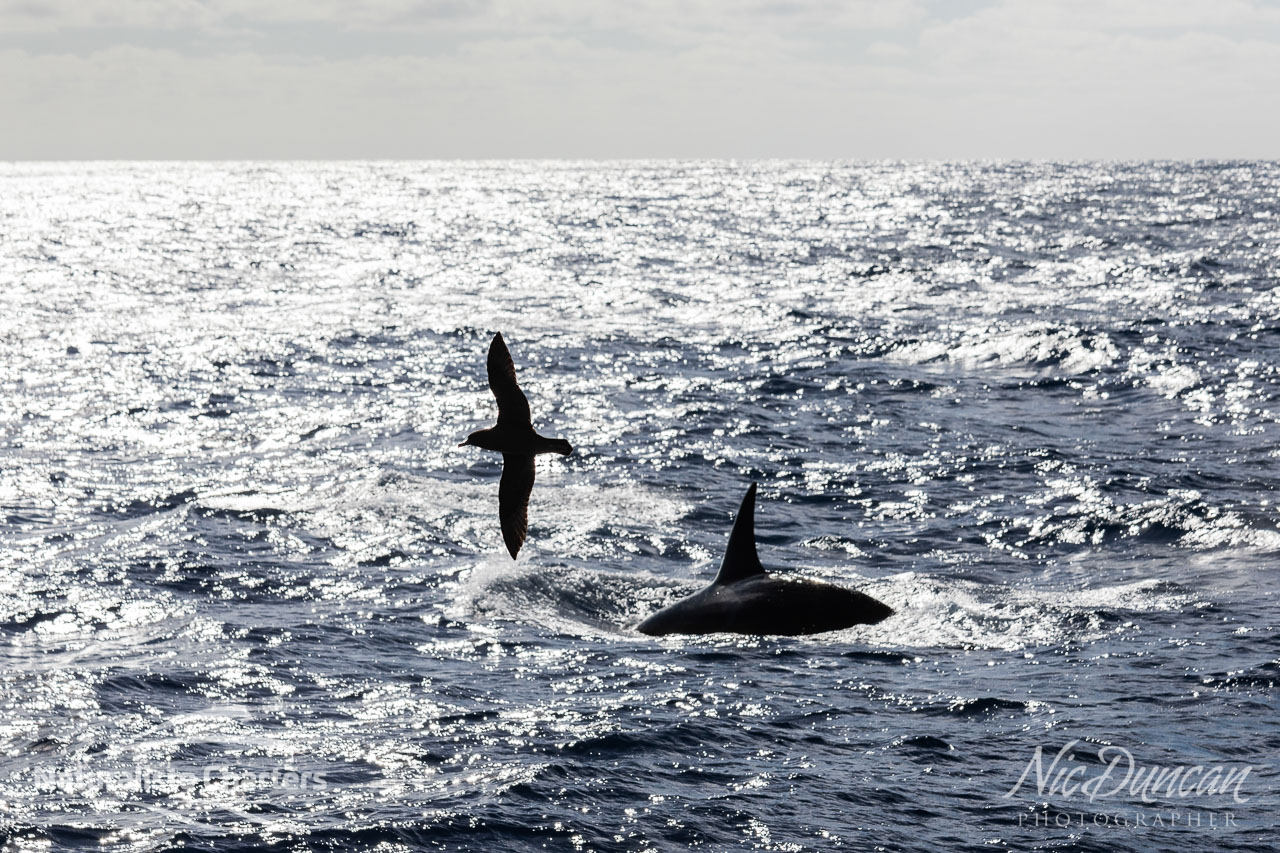 Orca and seabird silhouettes in the late afternoon sun in the Bremer Canyon