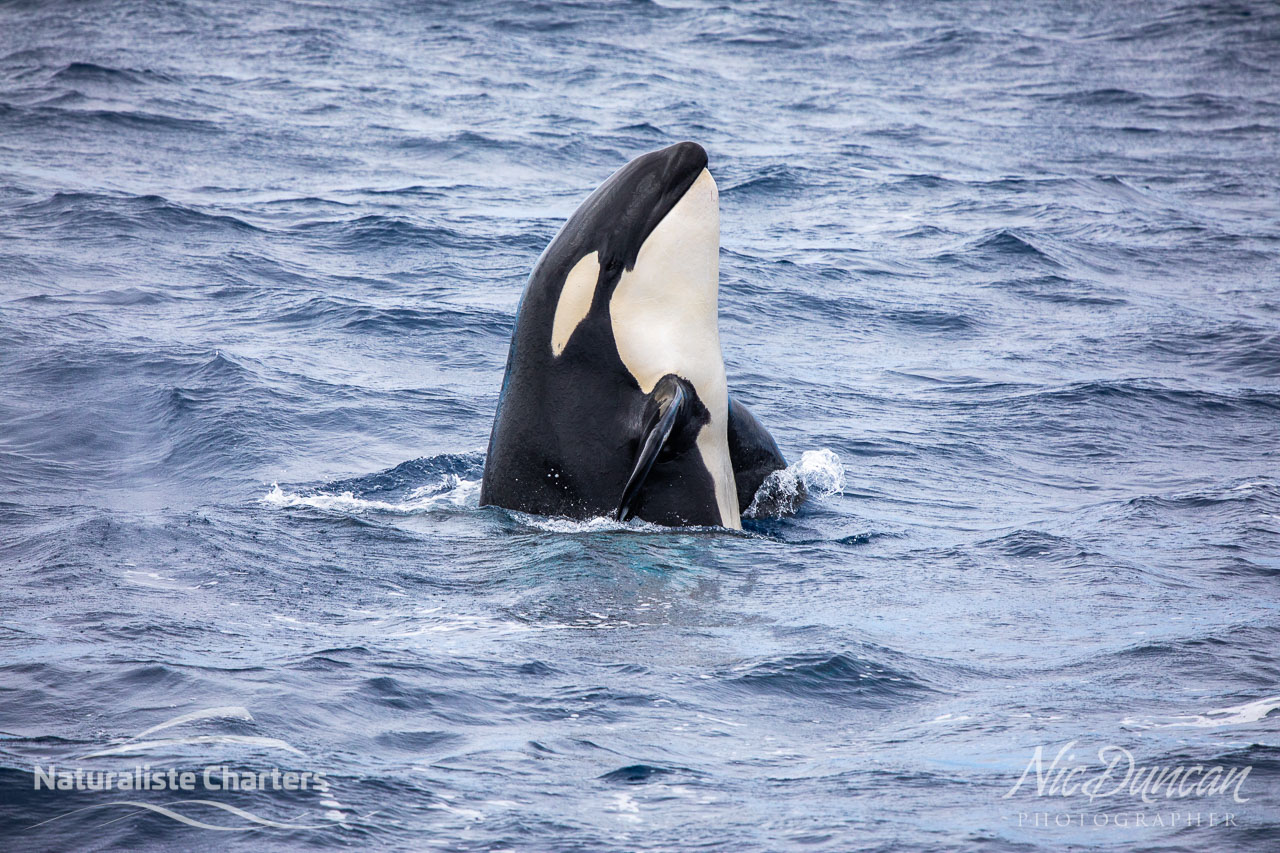 A killer whale spy hopping