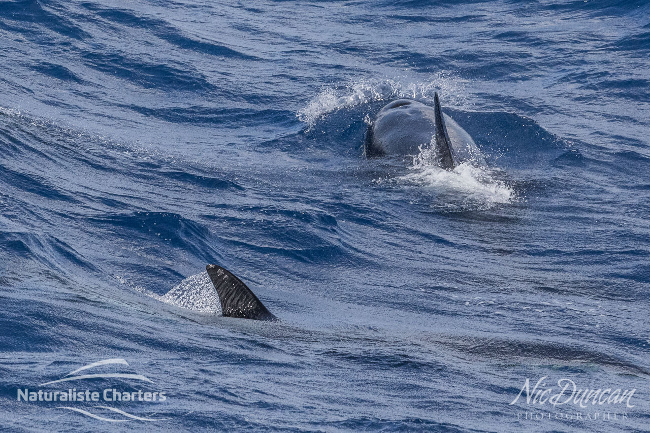 Orcas surging as they chase down their prey, most likely a beaked whale or giant squid