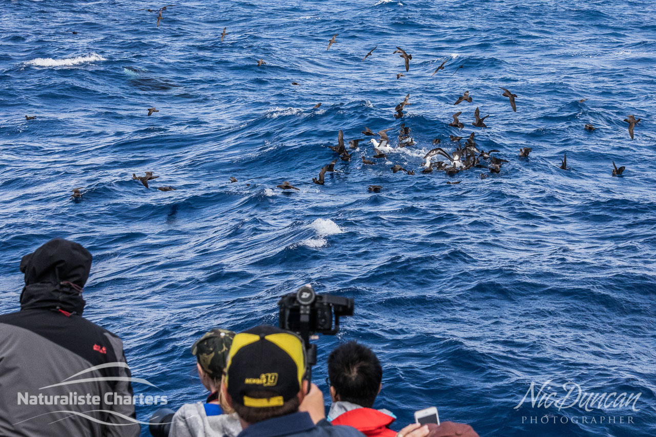 Passengers on board the Naturaliste Charters boat watch the predation as the seabirds swirl around the killer whales