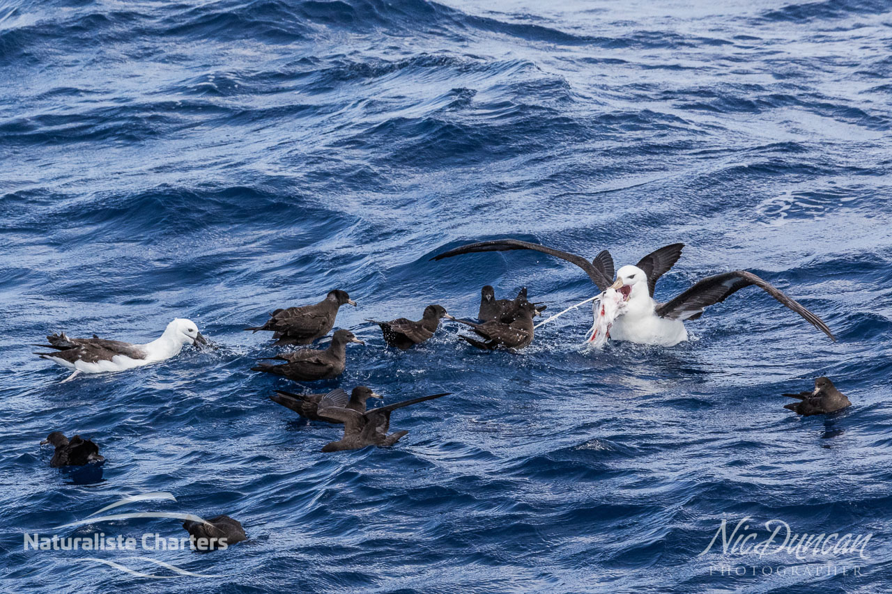 Sea birds squabble over scraps from the orca predation