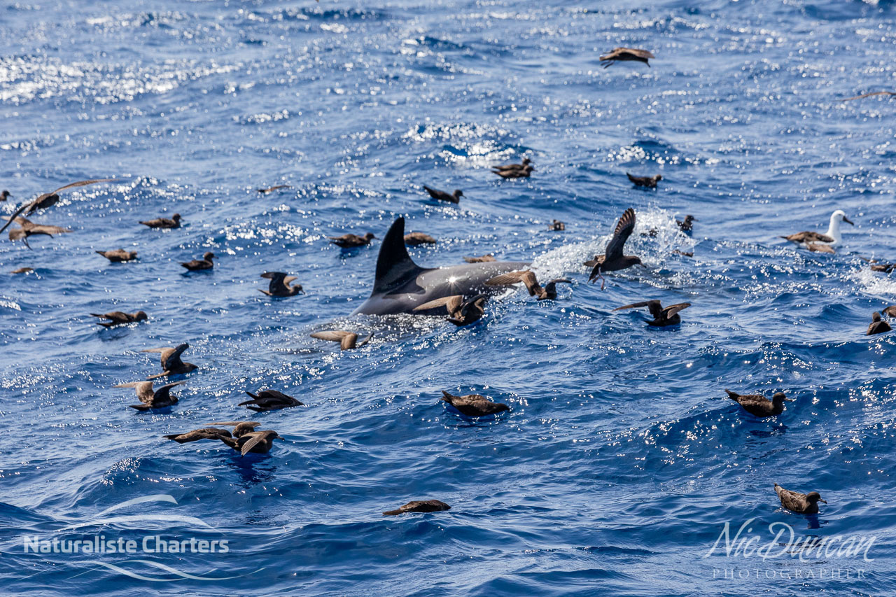 Foraging killer whale and sea birds