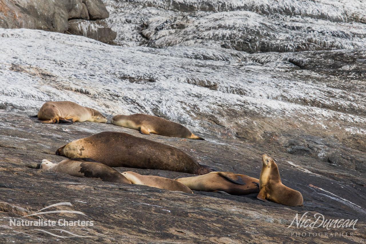 Australian Sea Lions, Bremer Bay WA