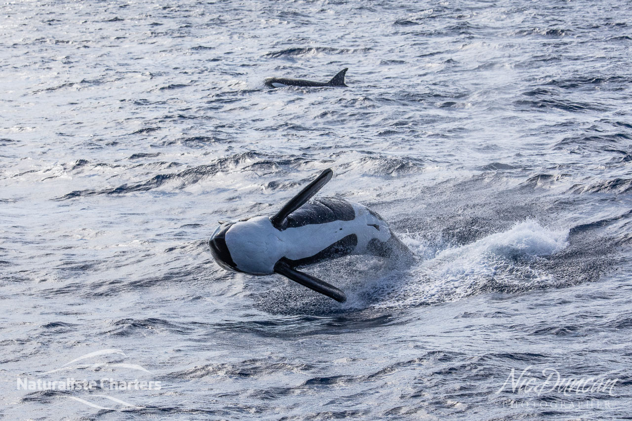 Orcas breached all around us and then surged off after a beaked whale