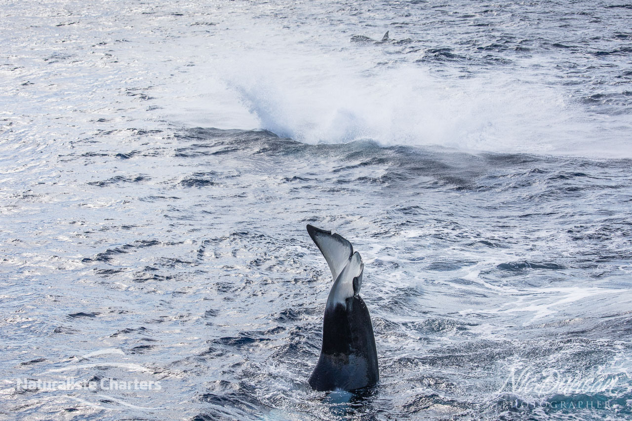 Breaching and tail slapping - orcas in the Bremer Canyon on WA's amazing south coast