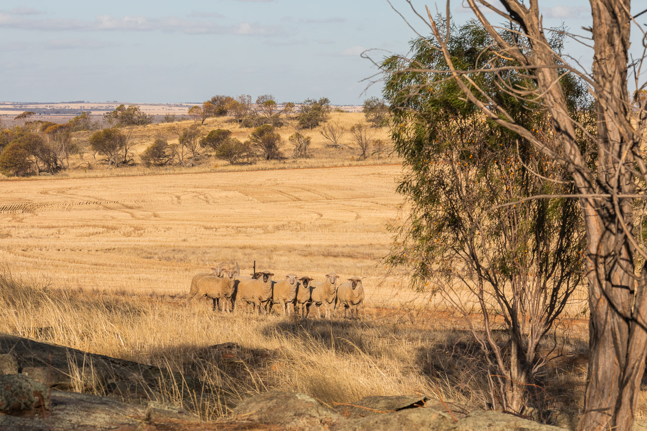 Sheep in the dry paddock in the wheatbelt