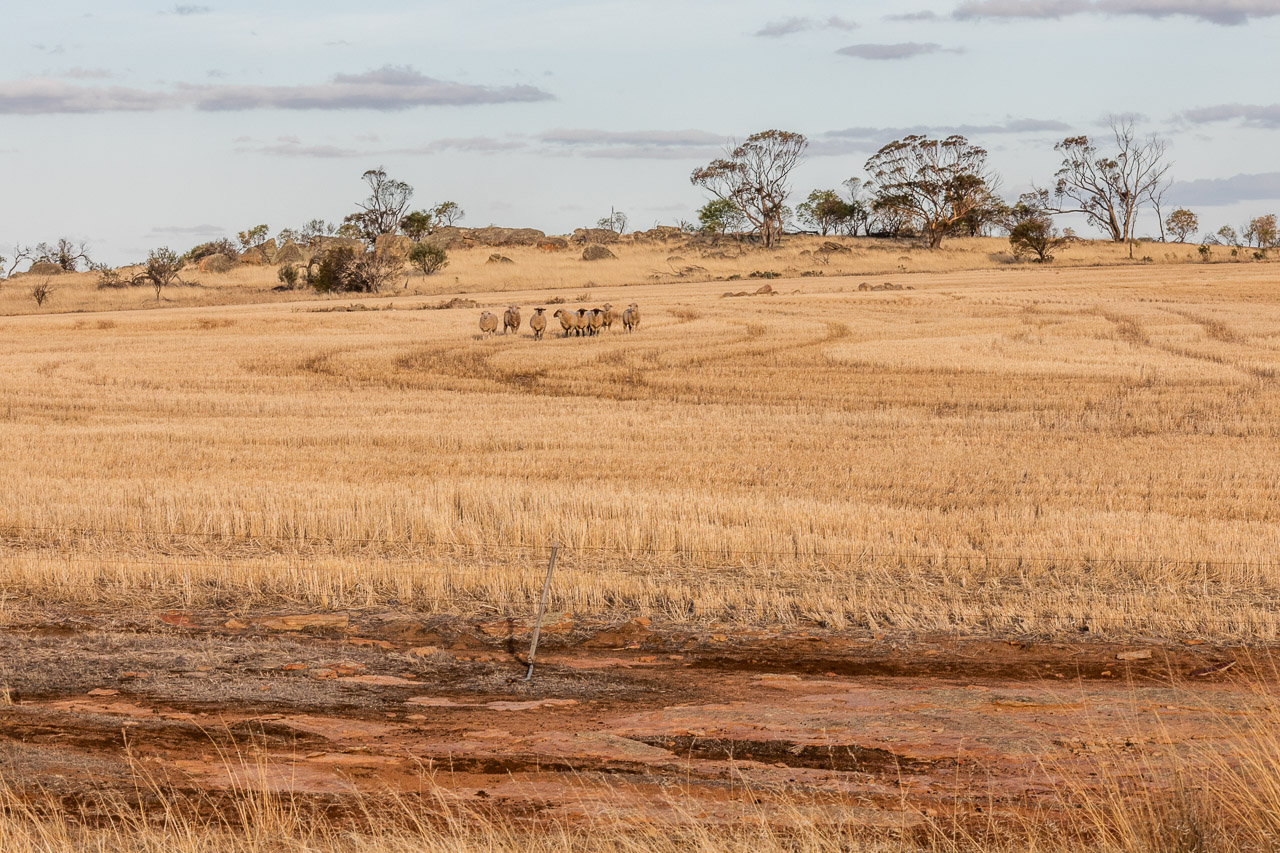 Sheep, red dirt and wheat