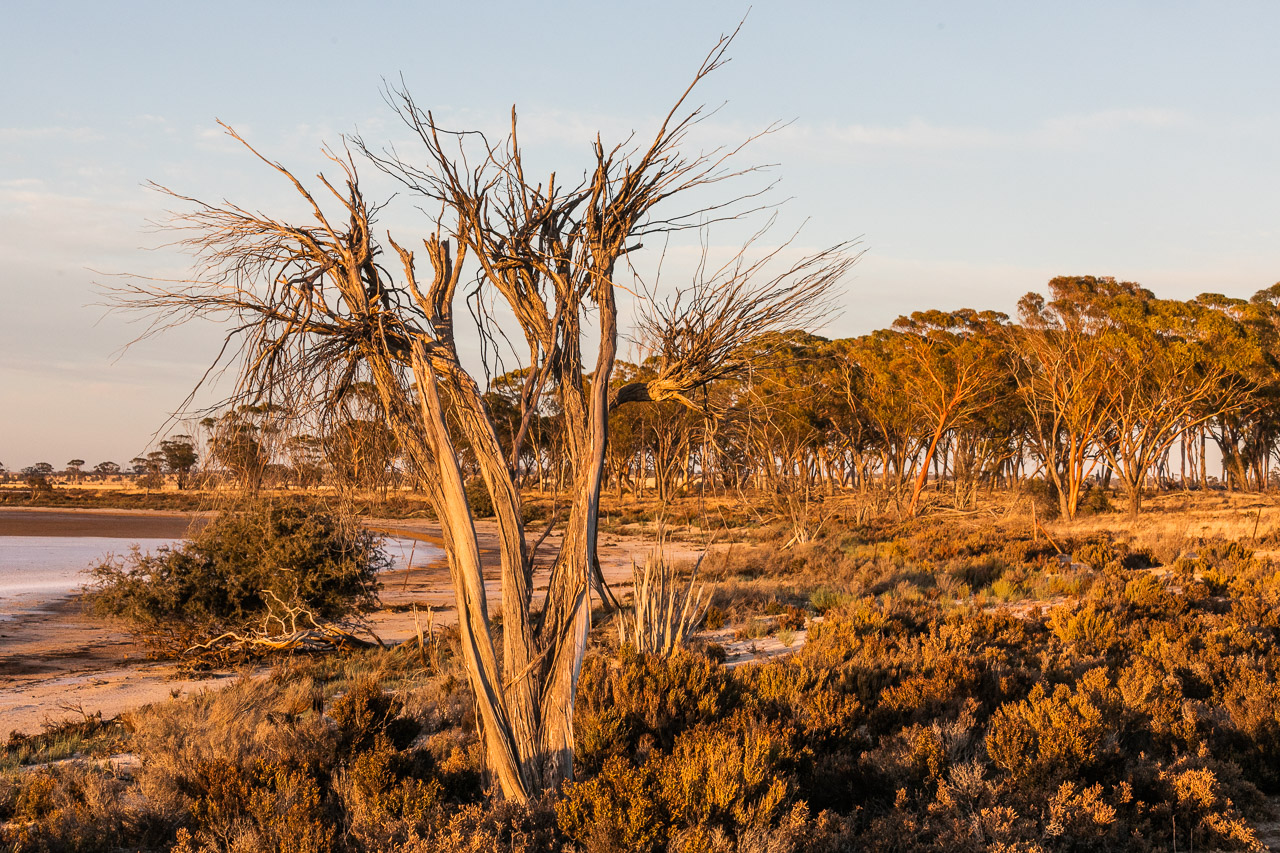 Dead tree beside a salt lake with salmon gums in the distance at sunrise