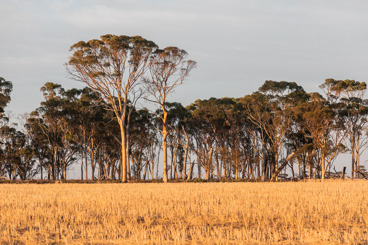 Wheat and salmon gums at sunrise