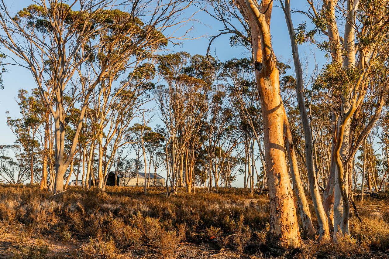 Camping by the shearing shed amongst the salmon gums at Bruce Rock in the Wheatbelt of Western Australia at sunrise