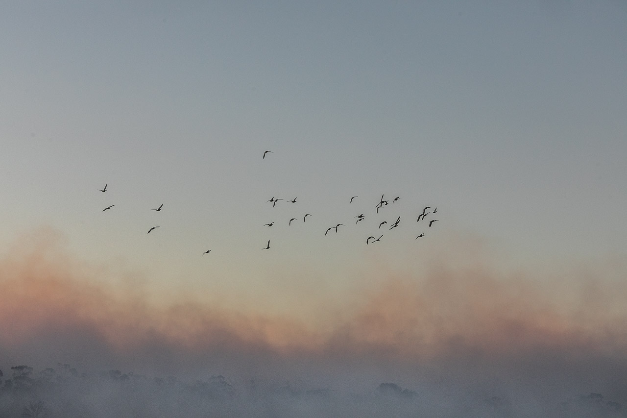 Ducks flying away from the fire and smoke during windrow burning in Bruce Rock, Western Australia