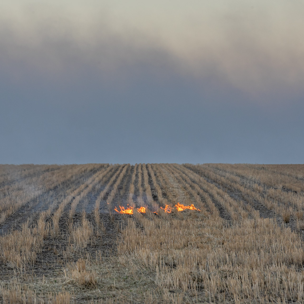 Windrows and fire during burning prior to seeding in the Wheatbelt