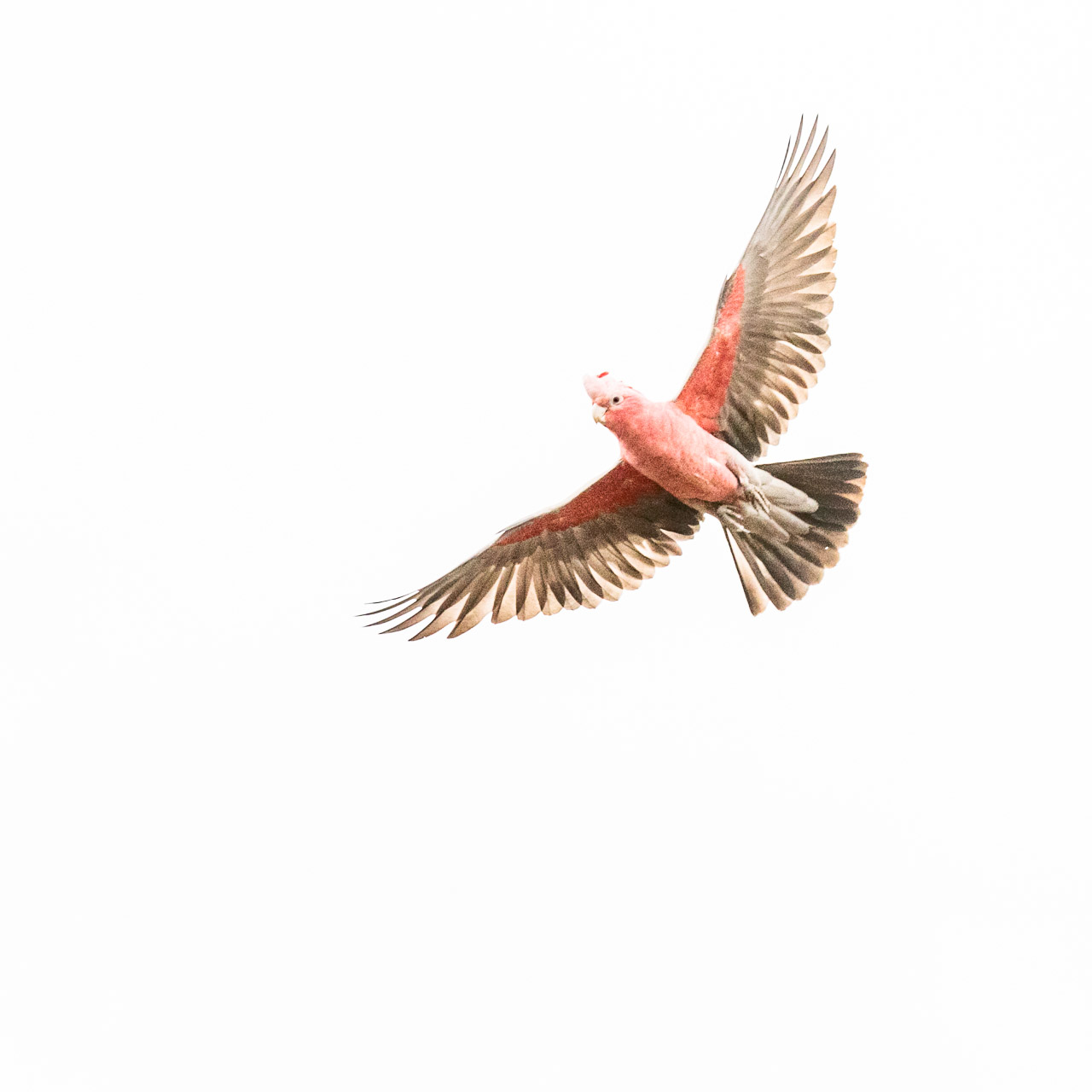 Galah in flight with wings spread