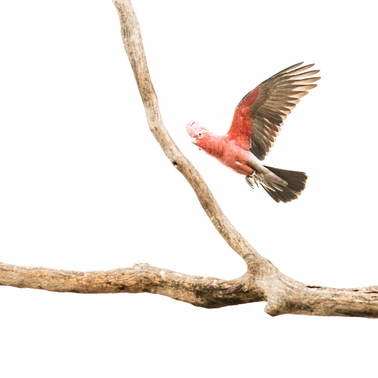 Profile of galah in flight