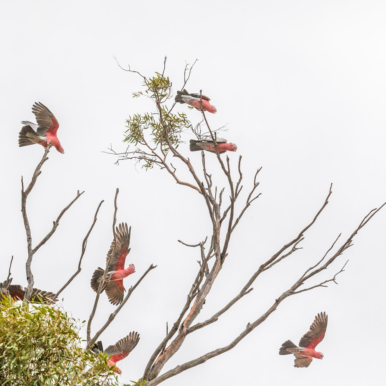 Galahs sitting in a salmon gum eucalyptus tree